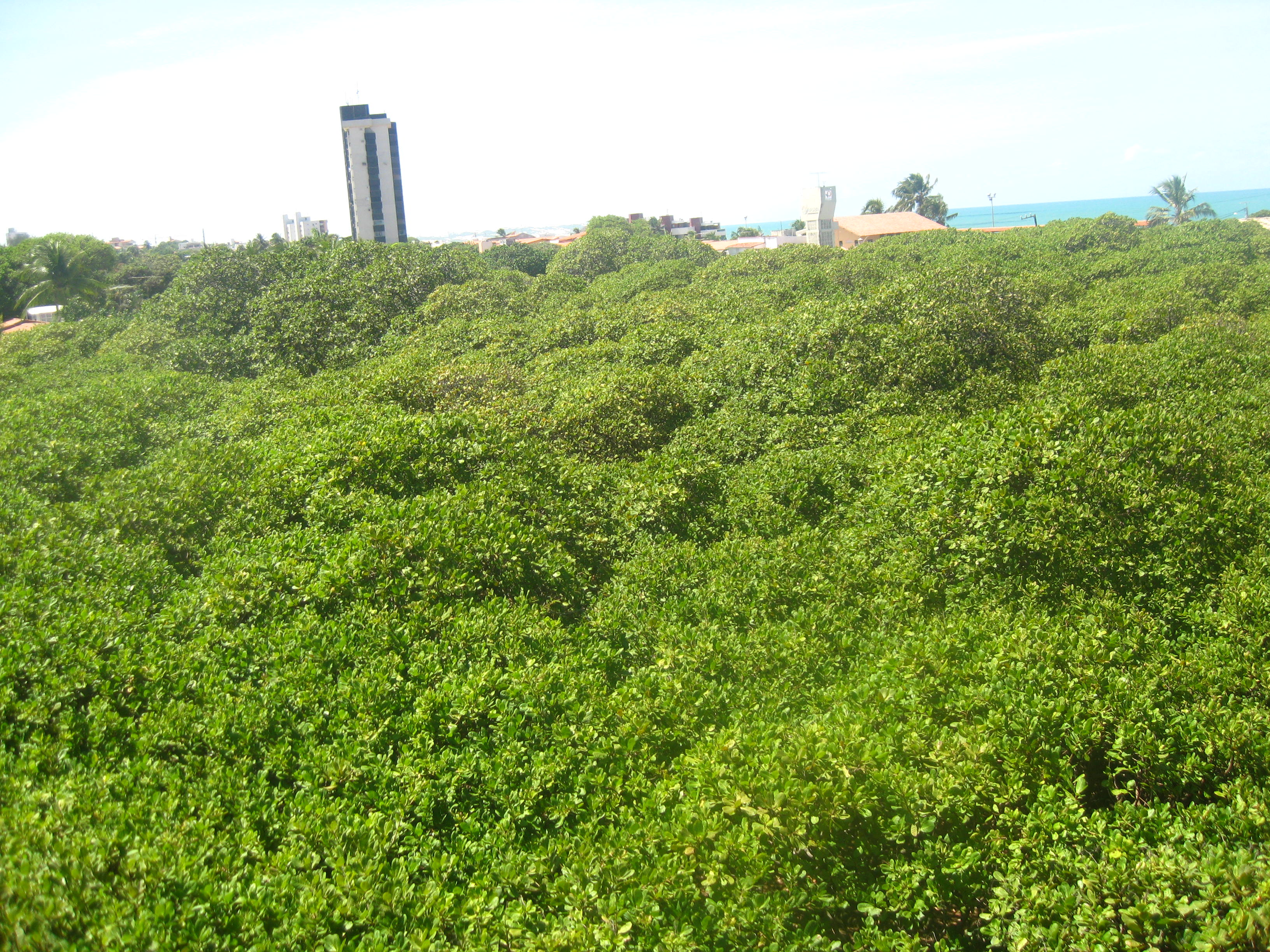 The largest cashew tree in the world!